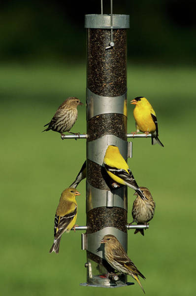 Goldfinch Photograph - Pine Siskins (carduelis Pinus by Richard and Susan Day
