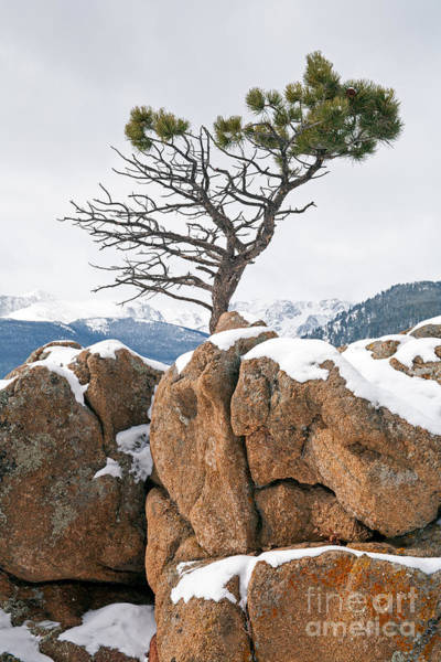 Photograph - Pine Tree Above Beaver Meadows In Rocky Mountain National Park by Fred Stearns