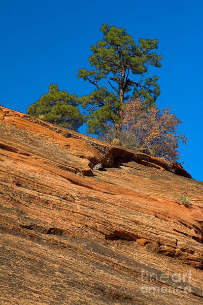 Photograph - Pine Tree by Fred Stearns
