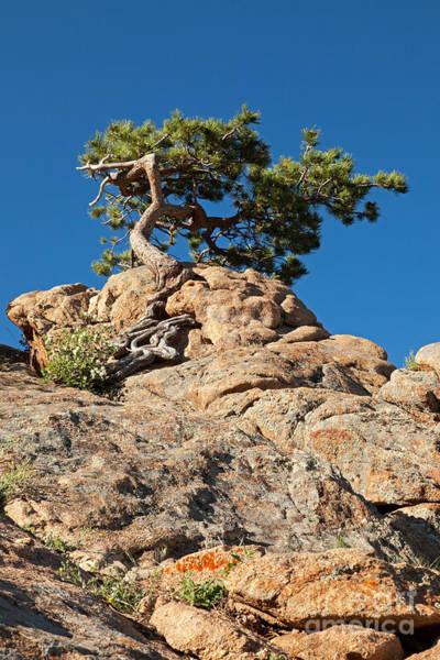 Photograph - Pine Tree Over Beaver Meadows In Rocky Mountain National Park by Fred Stearns