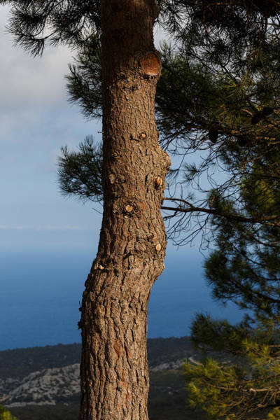 Photograph - Pine Tree by Paul Indigo