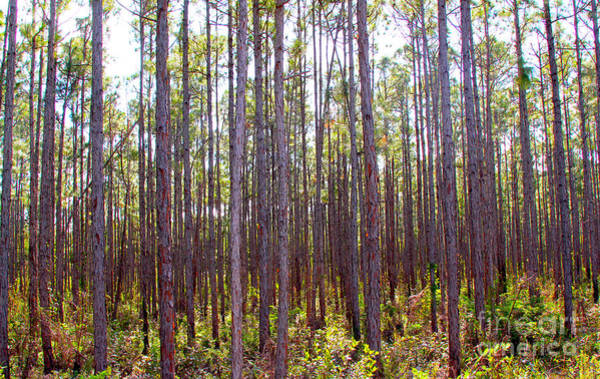 Wall Art - Photograph - Pine Trees by Carey Chen