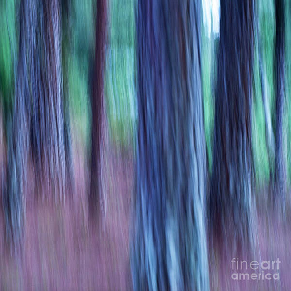 Photograph - Pine Trees by Heiko Koehrer-Wagner