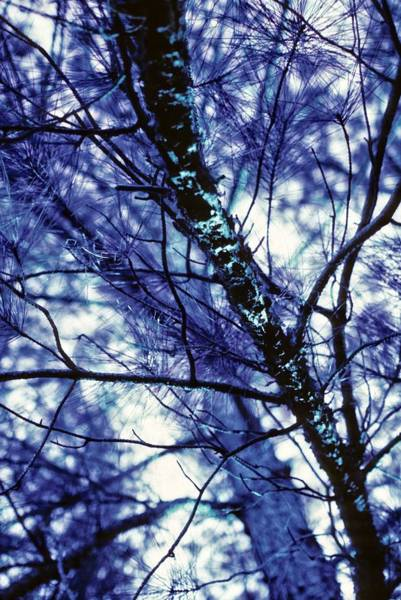 Pine Trees Redux In Blue Art Print