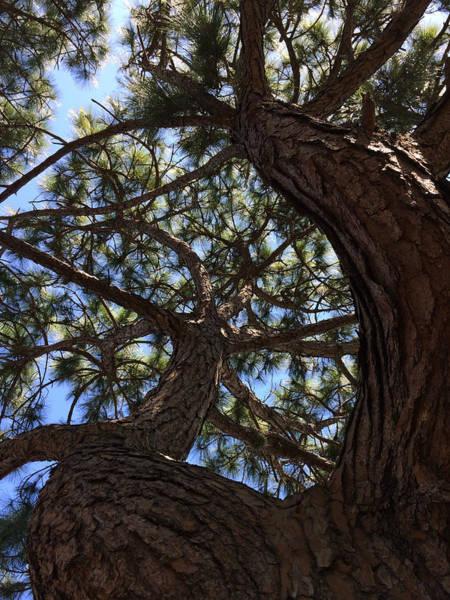 Photograph - Pine Twist by Nicki La Rosa