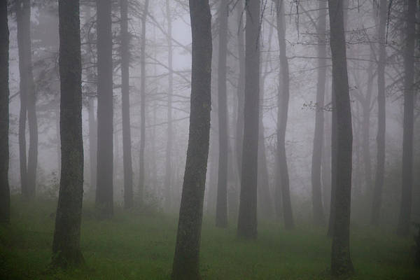 Pine Tree Photograph - Pine Woods In The Fog In Tuscany by Caroyl La Barge