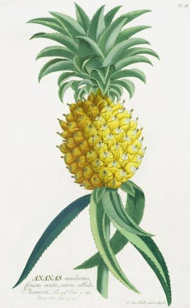 Pineapple Painting - Pineapple Engraved By Johann Jakob Haid by German School