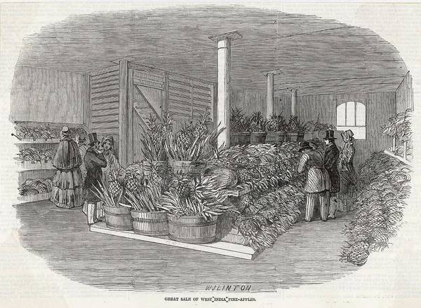 Pineapples Drawing - Pineapples From The  West Indies by  Illustrated London News Ltd/Mar