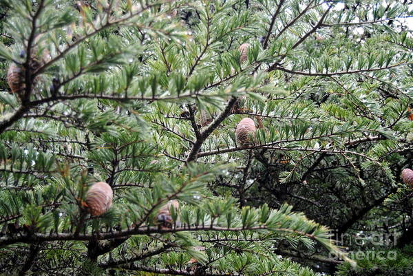 Photograph - Pinecones by Rachael Shaw