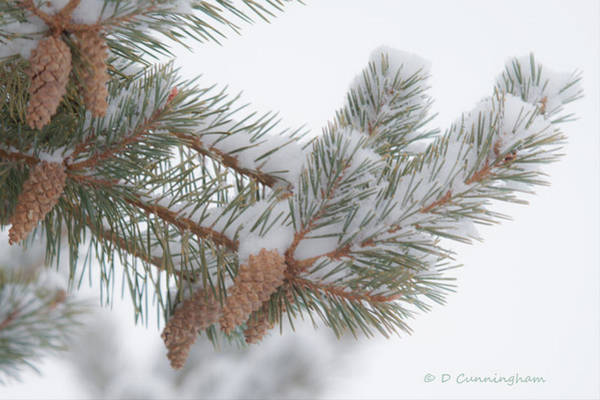 Photograph - Pinetree Limb And Snow by Dorothy Cunningham