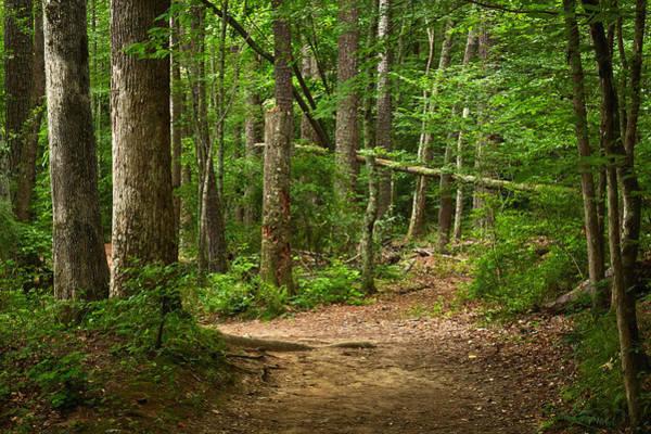 Pinewood Path Art Print