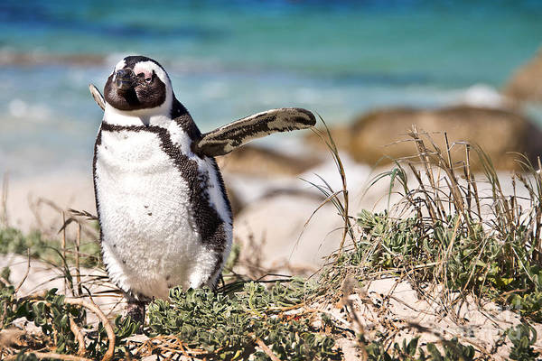 Colony Photograph - Happy Penguin by Delphimages Photo Creations