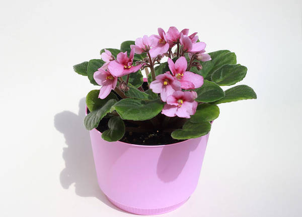 Wall Art - Photograph - Pink African Violet by Jeanne White