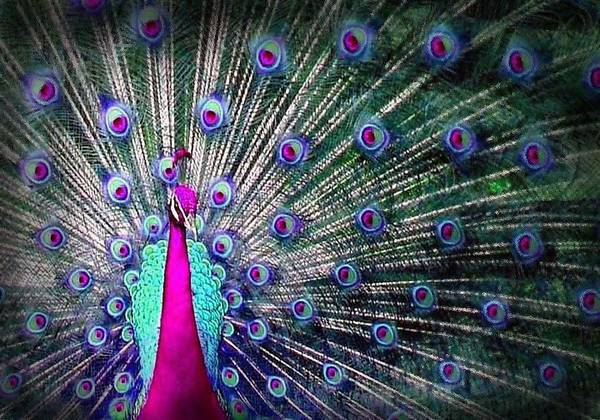 Wall Art - Digital Art - Pink And Blues Peacock by Diana Shively