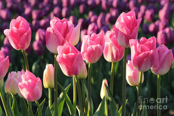 Photograph - Pink And Purple Tulips by Carol Groenen