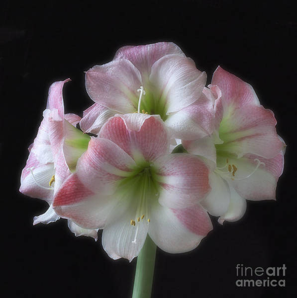 Photograph - Pink And White Amaryllis On Black by Ann Jacobson