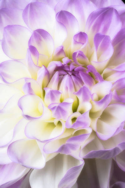 Softly Photograph - Pink And White Dahlia by Garry Gay