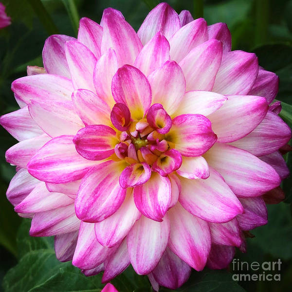 Photograph - Pink And White Dahlia Square by Carol Groenen