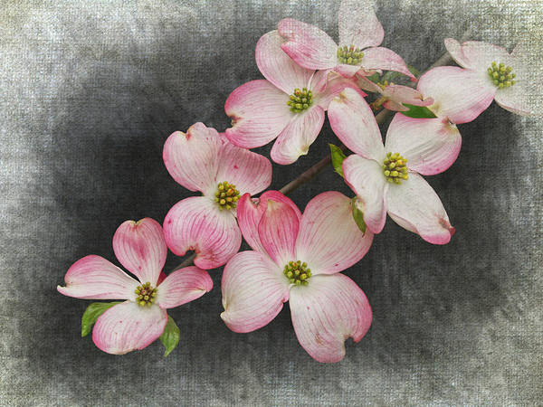 Photograph - Pink And White Dogwood Tree Blossoms by Randall Nyhof