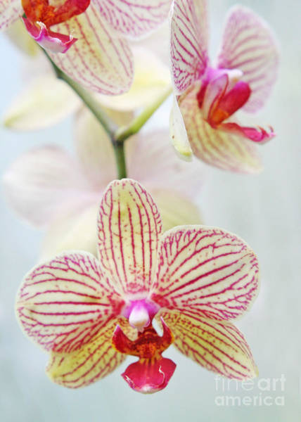 Photograph - Pink And White Orchids by Emanuela Carratoni