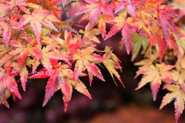 Photograph - Pink And Yellow Maple Leaves by Gerry Bates