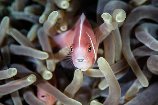Clownfish Wall Art - Photograph - Pink Anemonefish And Tongue Parasite by Ethan Daniels