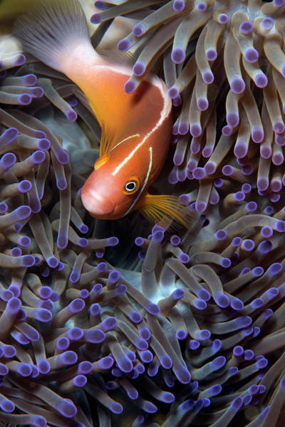 Skunk Photograph - Pink Anemonefish by Louise Murray