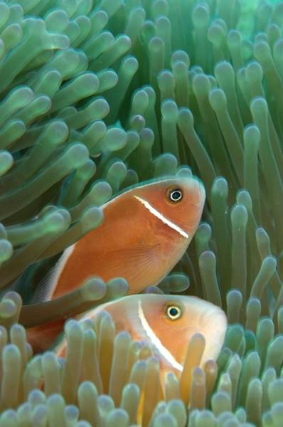 Clownfish Photograph - Pink Anemonefish by Scubazoo/science Photo Library