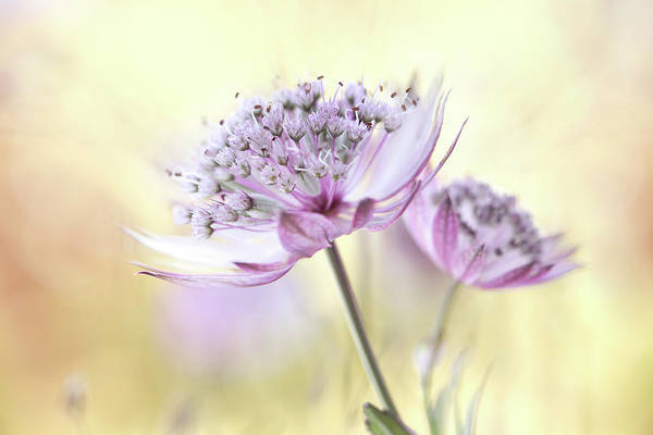Wall Art - Photograph - Pink Astrantia by Mandy Disher