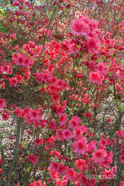 Photograph - Pink Azaleas by Chris Scroggins