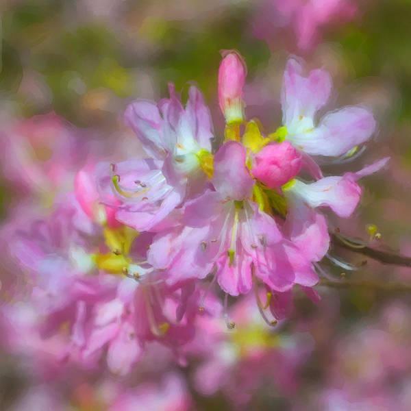 Photograph - Pink Azaleas by Joann Vitali