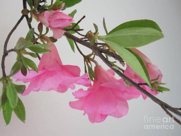 Azalia Photograph - Pink Azalia Branch 2 by Tara  Shalton