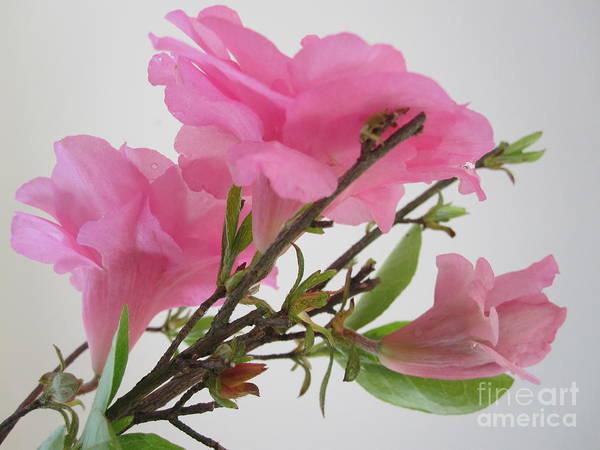 Azalia Photograph - Pink Azalia Branch 4 by Tara  Shalton