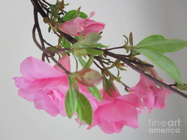 Azalia Photograph - Pink Azalia Branch 5 by Tara  Shalton
