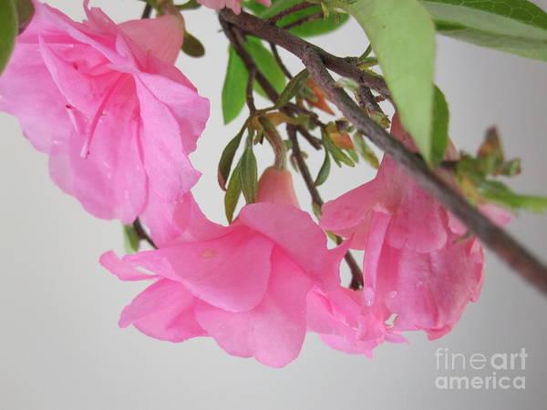 Azalia Photograph - Pink Azalia Branch 6 by Tara  Shalton