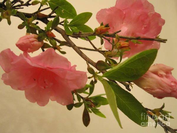 Azalia Photograph - Pink Azalia Branch by Tara  Shalton