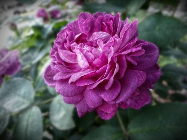 Purple Rose Digital Art - Pink Beauty by Linda Unger