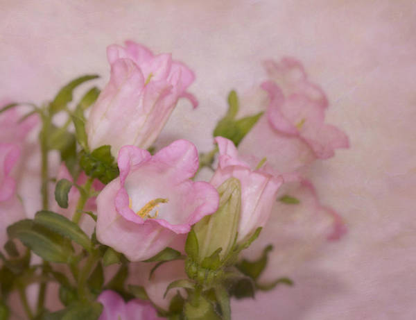Wall Art - Photograph - Pink Bell Flowers by Kim Hojnacki