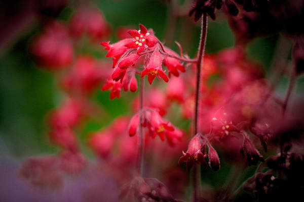 Photograph - Pink Bells 2 by Peter OReilly