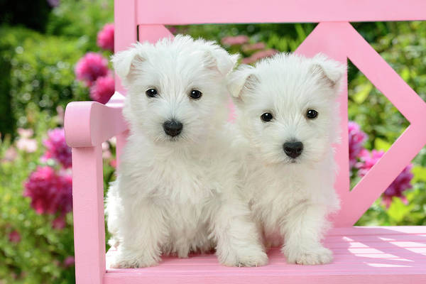 West Highland Painting - Pink Bench Puppies by MGL Meiklejohn Graphics Licensing