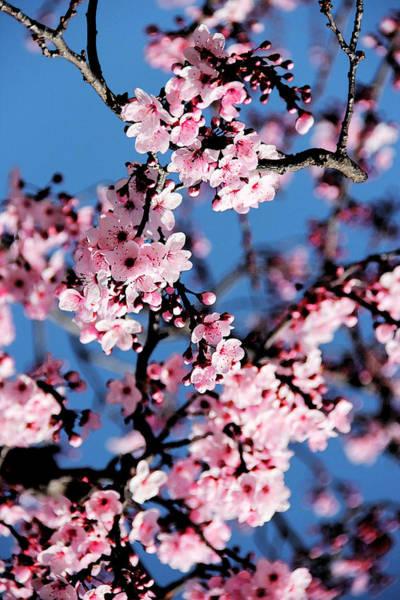 Apple Tree Painting - Pink Blossoms On The Tree by Irina Sztukowski