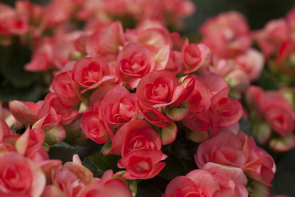 Photograph - Pink Bouquet by Fran Riley