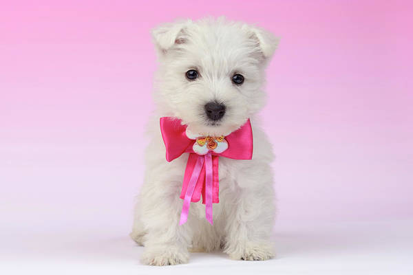 West Highland Painting - Pink Bow Puppy by MGL Meiklejohn Graphics Licensing