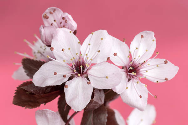 Photograph - Pink Cherry Blossom by Pierre Leclerc Photography