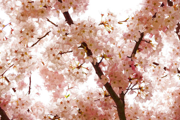 Digital Art - Pink Cherry Blossoms - Impressions Of Spring by Georgia Mizuleva