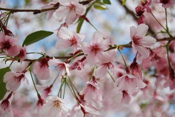Photograph - Pink Cherry Blossoms by Jocelyn Friis