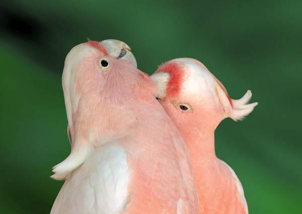Pink Cockatoo Couple Art Print