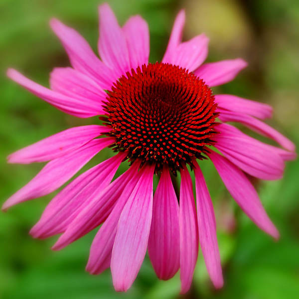 Photograph - Pink Cone Flower by Joann Vitali