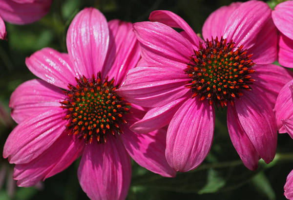 Seasonal Wall Art - Photograph - Pink Coneflower Delight by Suzanne Gaff
