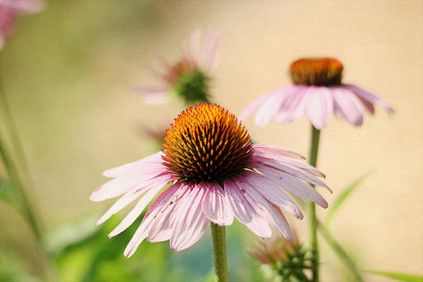 Photograph - Pink Coneflowers by Trina  Ansel